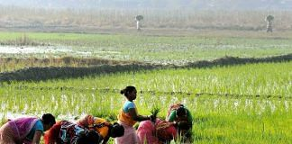 Farmers plant paddy saplings in a field in Kolkata | PTI Photo