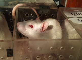A rat used for an experiment