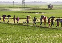 Latest news on rice cultivation in India | ThePrint.in