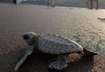 Olive Ridley turtle   Commons