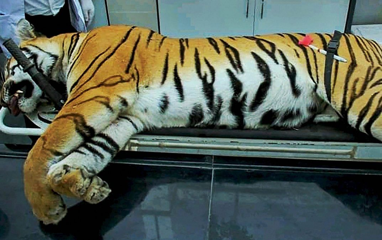 Slain tigress Avni lies on a surgical table | PTI