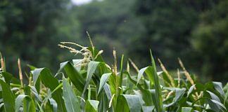 Corn grows in a field of a farm outside of Phulambri in Maharashtra (representational image) | Karen Dias/Bloomberg