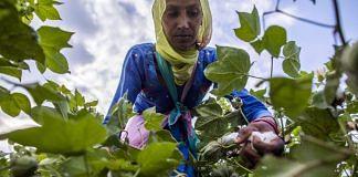 A farmer hand-picks cotton in a field in Sirsa, Haryana