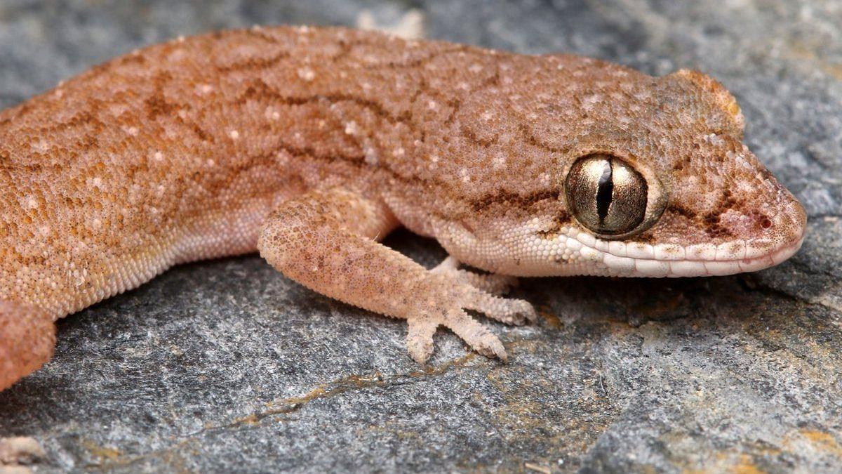 Hemidactylus vijayraghavani | @snakeszeeshan/Twitter