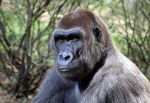Image of a gorilla | Commons