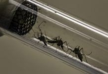 Dengue is caused by the Aedes aegypti mosquito   Dado Galdieri   Bloomberg   File photo