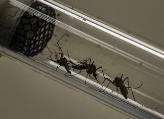 Dengue is caused by the Aedes aegypti mosquito | Dado Galdieri | Bloomberg | File photo