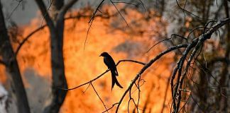 Silhouette of a bird seen against flames of a forest fire at Bandipur Tiger Reserve | PTI