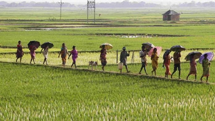 A file photo of villagers walking down rice fields (Representational image) | Commons