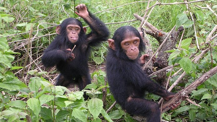 Chimpanzees in Central Africa for the first time are seen breaking turtle shells to eat meat`