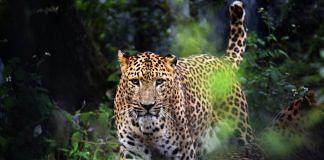 Leopard in Jim Corbett Reserve | Flickr