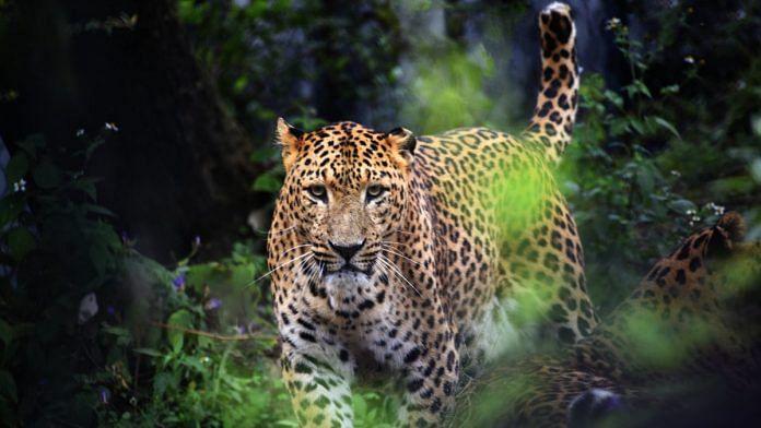 Leopard in Jim Corbett Reserve   Flickr