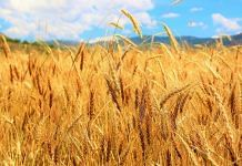 Wheat crop (representational image) | Commons