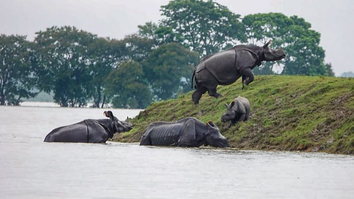 One-horned rhinos seen moving to an elevated area following floods due to incessant monsoon rainfall in Kaziranga National Park | PTI