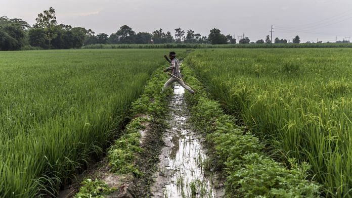 A farmer jumps over an irrigation channel between fields of rice growing on farmland in the Bhagpat district of Uttar Pradesh   Bloomberg