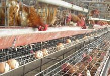 Poultry farm (Representative Image) | Commons