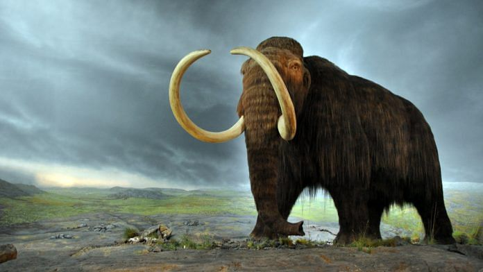 A woolly mammoth (representational image) | Commons