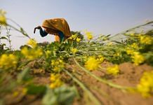 A farmer cuts mustard in a mustard field in the outskirts of Jaipur | Photo: Prashanth Vishwanathan | Bloomberg