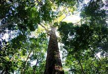 The Amazon's new record-breaking tree. | Photo: Tobias Jackson