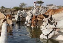 File photo of a herd of cows drinking water on the outskirts of Jabalpur