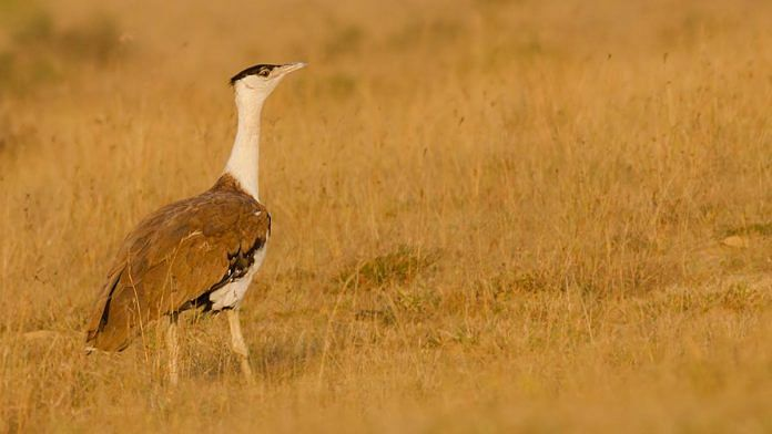 Great Indian Bustard | Commons