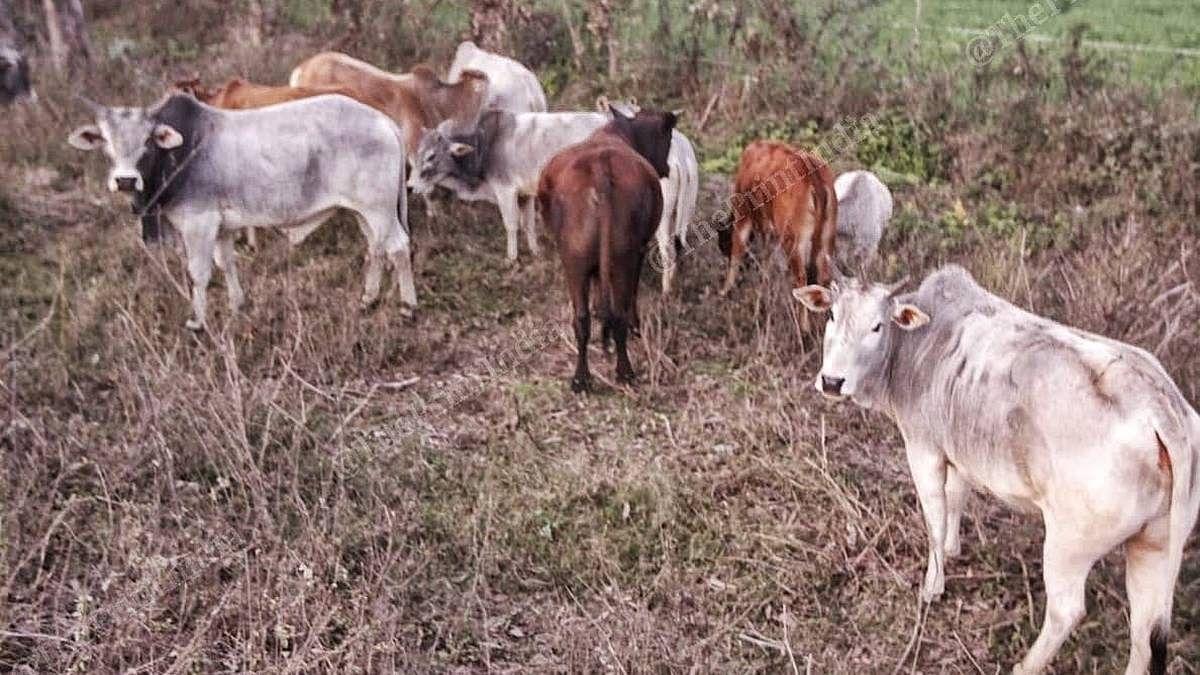 Stray cattle in a field in Uttar Pradesh