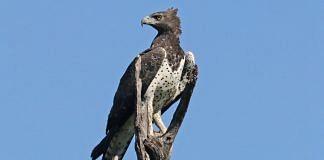 Martial Eagle | Wikimedia Commons