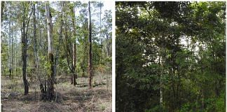 A degraded rainforest site (left) in 2004, from where invasive weeds have been cleared in preparation for restoration, and the same site in 2018, showing some recovery (right)