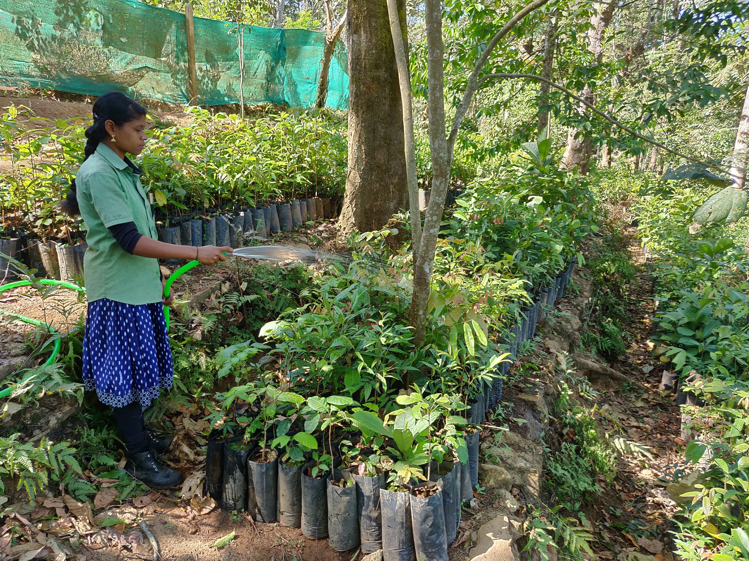 Young trees are raised for up to three years in the rainforest nursery before they are ready for translocation to restoration sites.