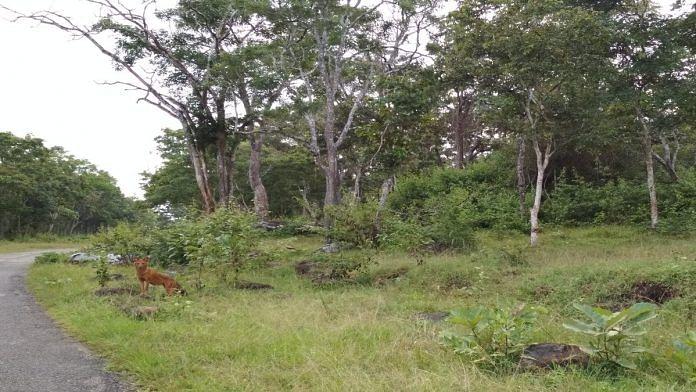 A dhole at Nagarhole National Park in Karnataka