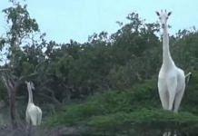 White giraffes at Ishaqbini Hirola Community Conservancy in northeastern Kenya | Screengrab