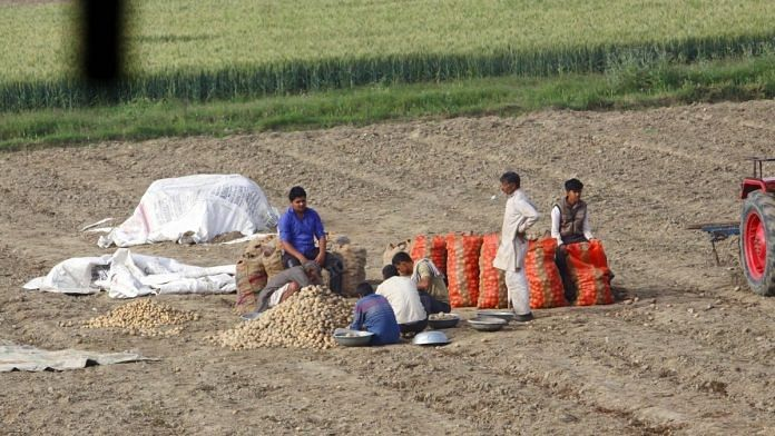 A potato farmer and his family in Baghpat collecting their produce in a bag, unsure of what to do with it next. | Photo: Praveen Jain/ThePrint