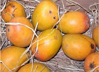 Representational image of Alphonso mangoes | Commons