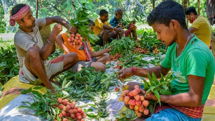 Farmers prepare bundles of litchi fruit to be sold in a market, during the lockdown, in Nadia district, West Bengal, on 11 May 2020 | PTI