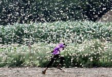 The desert locusts is among the most destructive migratory pests as it can eat its own body weight of vegetation | Photo: Praveen Jain | ThePrint