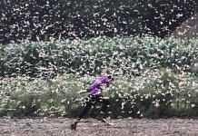 A swarm of desert locusts was seen in Baghai village in Uttar Pradesh on Monday. The desert locust is among the most destructive migratory pests as it can eat its own body weight in vegetation | Praveen Jain | ThePrint