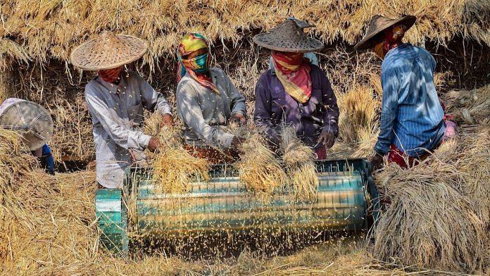 Representational image of farmers threshing paddy in Nadia, West Bengal | File photo: PTI