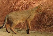 Representation image of a jungle cat   Wikipedia