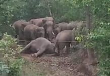 A pregnant elephant's dead body surrounded by the herd in Chhattisgarh's Surajpur on 9 June.   Photo: Special arrangement