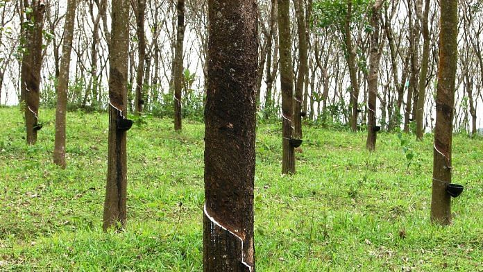 A rubber plantation in Kerala | Wikimedia commons