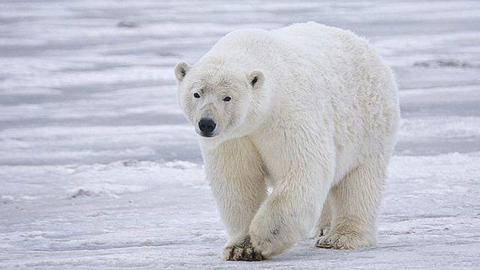 File photo of a polar bear | Wikimedia Commons