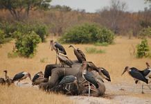 Representational image  Marabous and vultures over a dead elephant in Savuti, Botswana   Wikimedia Commons