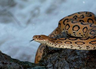 Russell's viper, a venomous snake responsible for half the deaths due to snakebites in India