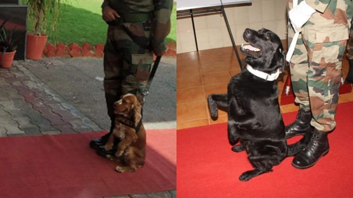 Army's cocker spaniel Sophie (left) and Labrador Vida have been awarded commendations for their bravery | By special arrangement