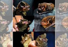 Portraits of some new bat records for the western Himalayan region from the survey..   Photo: Rohit Chakravarty