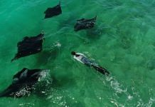 Malaika Vaz swimming with manta rays   By special arrangement