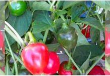 Sikkim's Dalle Khursani chilli pepper gets GI tag | Photo via Twitter
