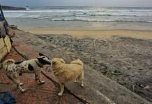 Kovalam beach stands empty, except for a few dogs frolicking about | Photo: Praveen Jain | ThePrint
