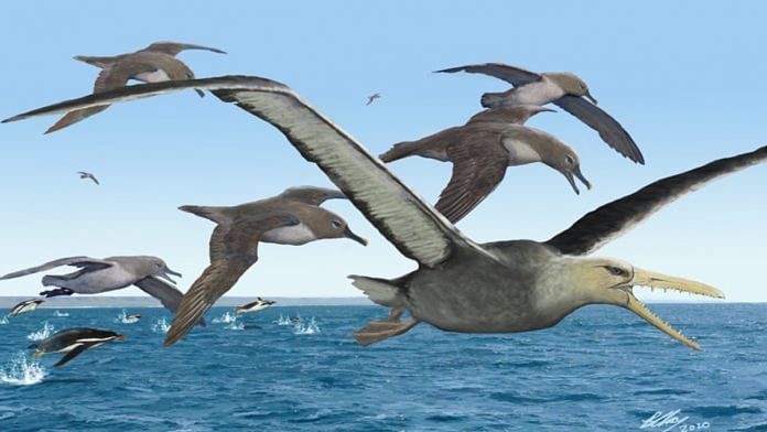 An artist's depiction of ancient albatrosses harassing a pelagornithid — with its fearsome toothed beak — as penguins frolic in the oceans around Antarctica 50 million years ago | Image courtesy of Brian Choo, via https://news.berkeley.edu/