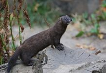 Representational image of a mink | Commons